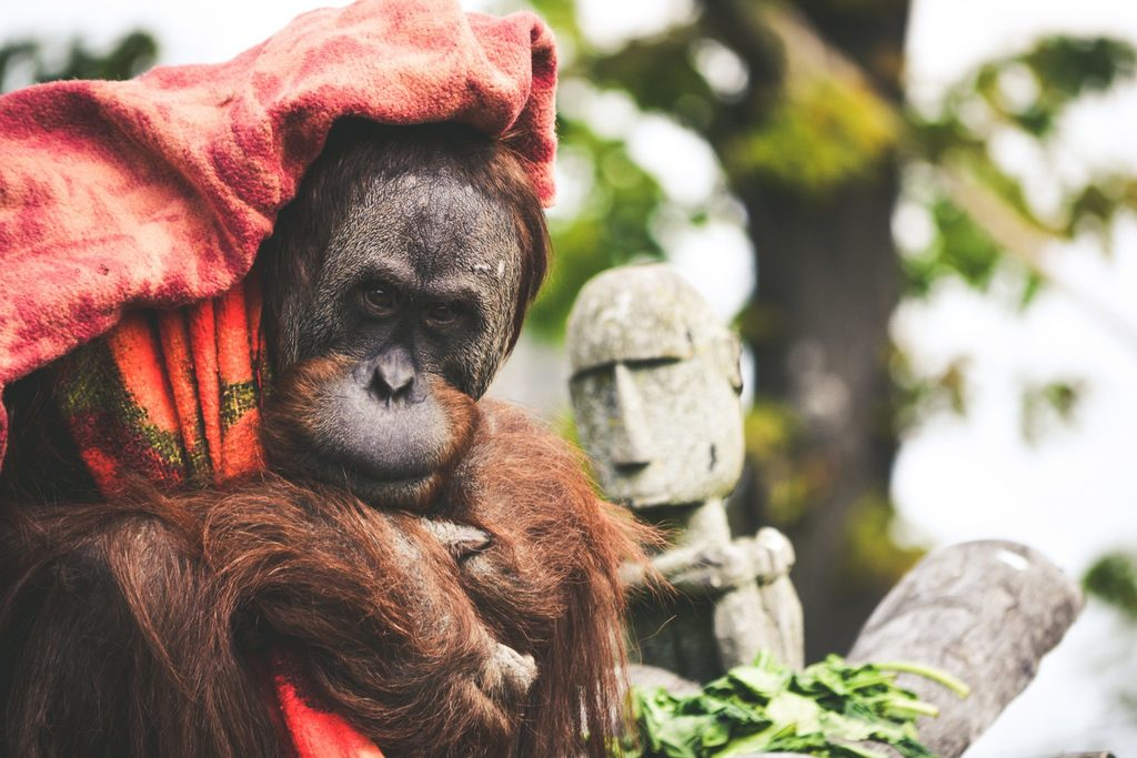 Orangutans are one of many species at risk of unsustainable palm oil practices.