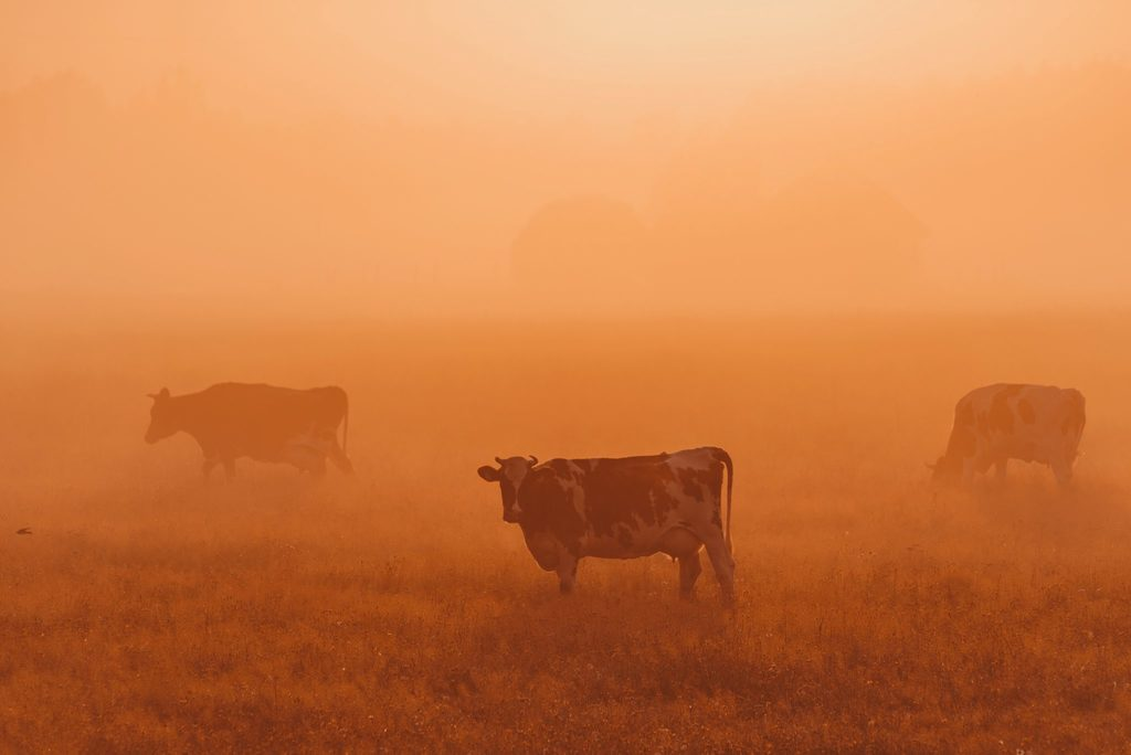 amazon is burning - body image 1 - cows in smoke with orange glow