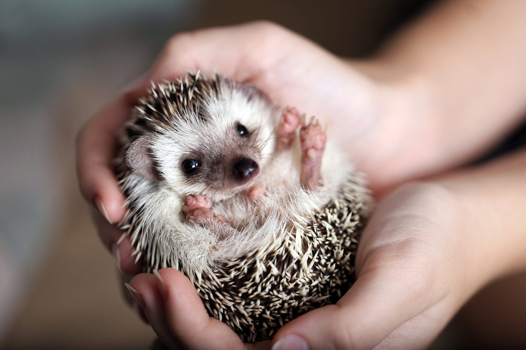 tiny hedgehog in the hands of a human