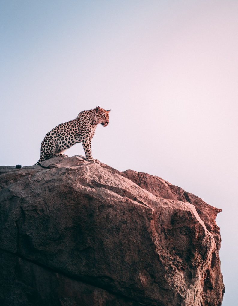 untamed references a cheetah as a metaphor and this is a cheetah on top of a rock