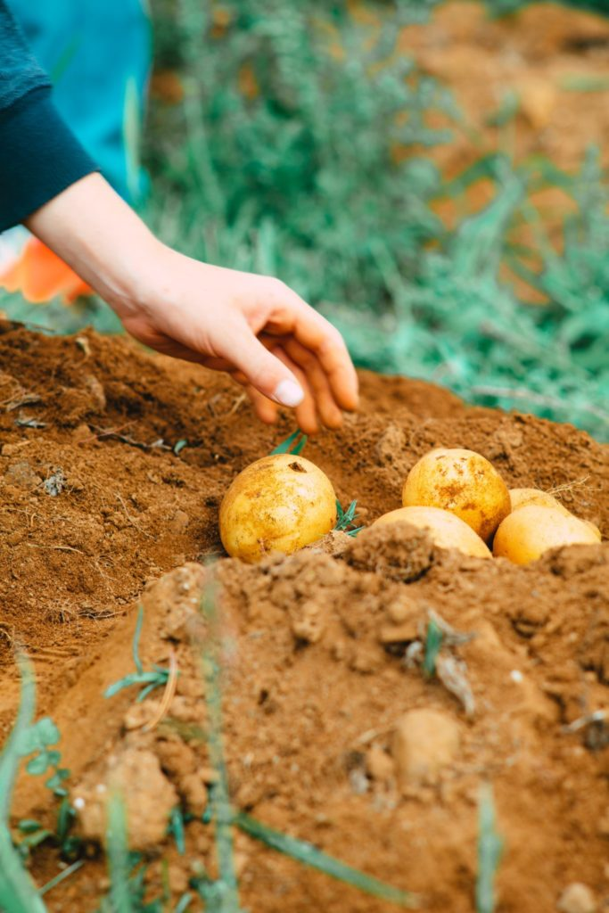 potatoes being pulled from the ground. Growing food is a key part to ending hunger in line with the united nations sustainable development goals